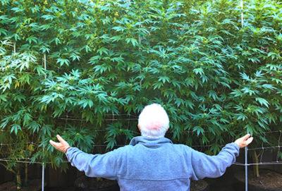 Old man cannabis