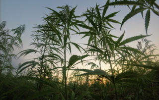 Cannabis, Hemp, and Marijuana: Understanding the Key Differences