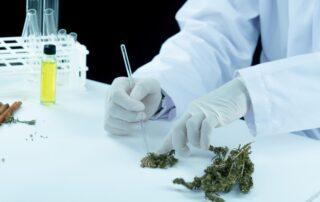 A lab engineer using medical marijuana leaves to make gummies.