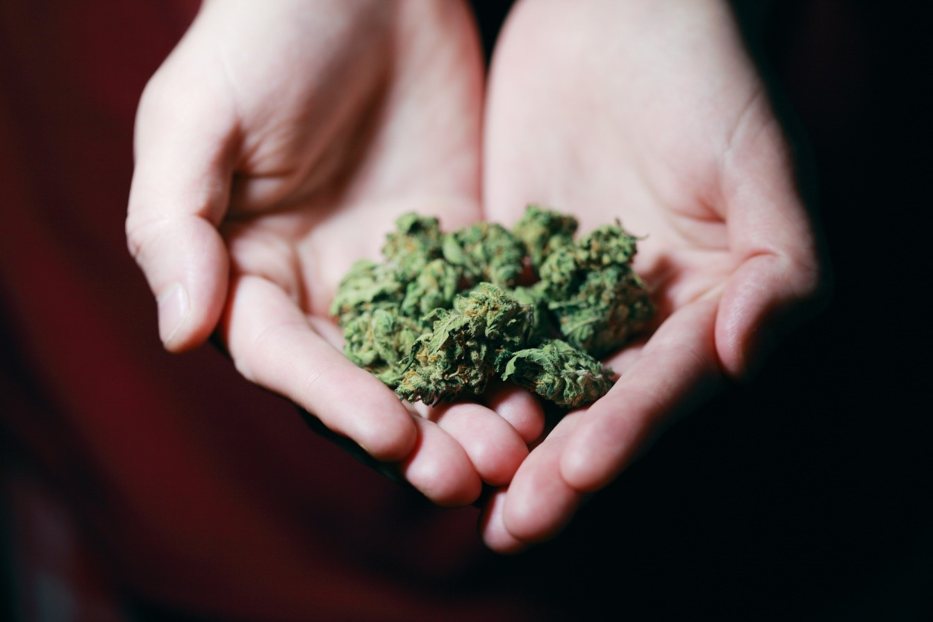 A pharmacist presenting buds of medical marijuana