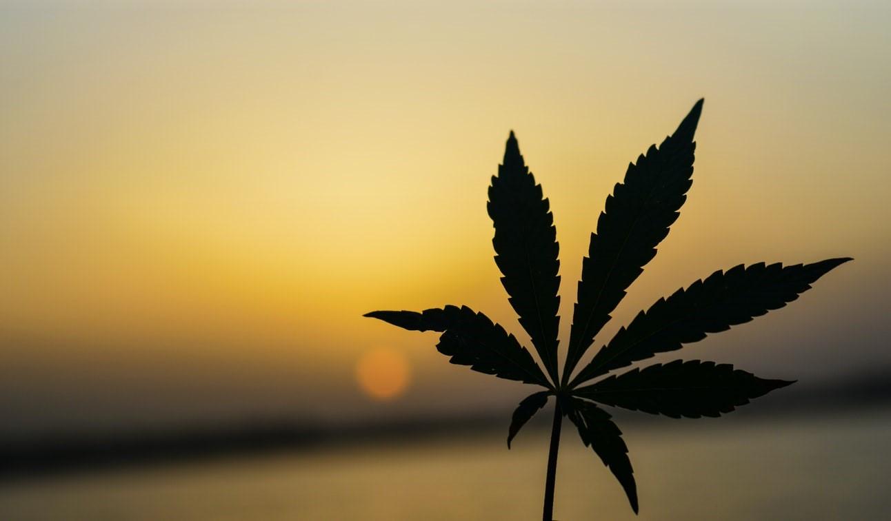 Marijuana plant with 7 leaflets